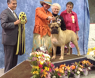 AKC CHAMPION STREETBOSS VON DER ALTEN WELT  Second american bred natural tailed champion in the history of the breed